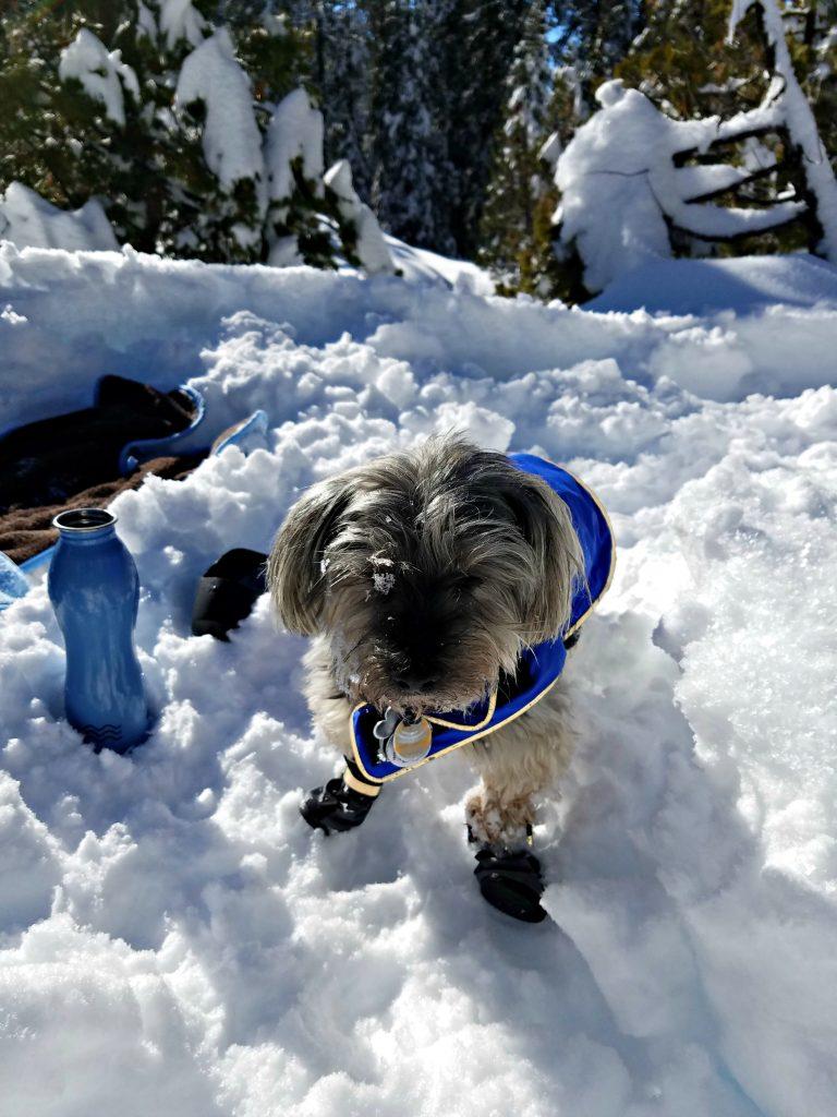 Snowshoeing Dog Shasta Jan 2017