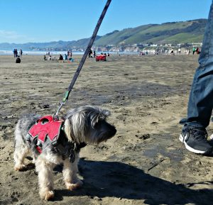 4 Gifts for Pets-Ruffwear Web Master Harness Shasta at the beach